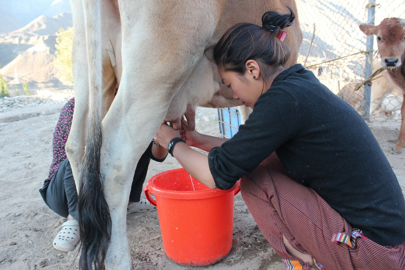 Student milking cow at SECMOL